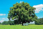 """Lípa není kupodivu výhradním """"vlastnictvím"""" českého národa, za svůj strom ji pokládá řada slovanských národů."""