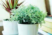 Ústřední topení nedělá pokojovým rostlinám dobře.