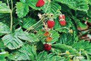 I tady je, jako v každé správné zahradě, místy něco na sezobnutí, třeba červené jahody.
