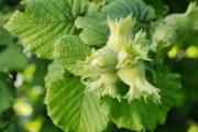Odrůdy lísky obecné se liší velikostí oříšků i délkou listenů.