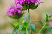 Péči šlechtitelů se dočkala zavinutka trubkovitá, kterou seženete v bílé, růžové či fialové barvě květů.