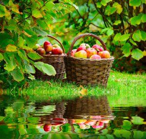 Staré odrůdy ovoce mají ve srovnání s novými mnoho výhod i několik nevýhod.