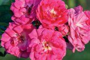 Bez růží se žádná zahrada neobejde. Potřebují sice určitou péči, jejich květy a vůně za trochu práce ale určitě stojí.