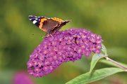 Trvalky je vhodné doplnit i dřevinami. Pěkně vypadá například komule Davidova, která bude navíc svou vůní lákat motýly z celého okolí.