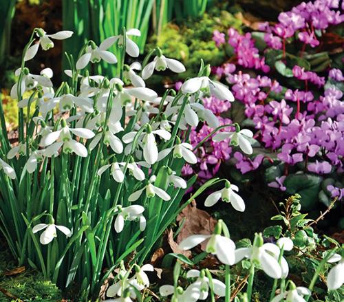 Galanthus nivalis 'S. Arnott'
