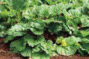 Rebarbora, nazývaná také reveň, je vytrvalá rostlina pocházející ze střední a východní Asie.