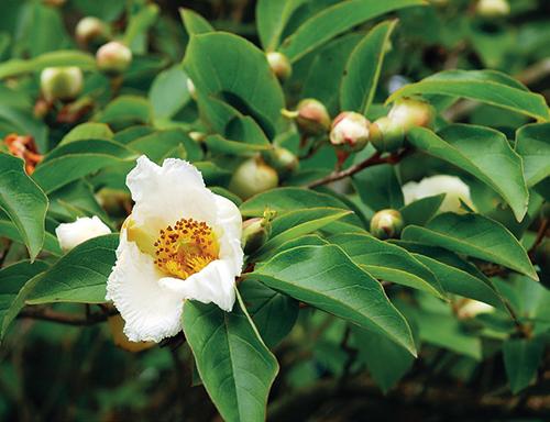 Blízkou příbuznou krásné kamélie i slavného čajovníku je rostlina Stewartia pseudocamellia.