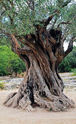 Olivovník patří k nejstarším, ale i nejdůležitějším užitkovým rostlinám Evropy a Blízkého východu.