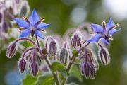 Dekorativní listy umožňují použití brutnáku také v okrasné zahradě.