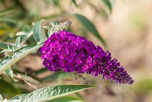 Krásné květy lákají četné opylovače.