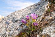 Tyto krásné trvalky rostou také ve volné přírodě.
