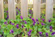 Violka vonná (Viola odorata) je oblíbenou květinou na dochucení salátů i na ozdobení moučníků.