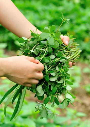 Do zeleninového salátu zkuste přidat šruchu zelnou (Portulaca oleracea).