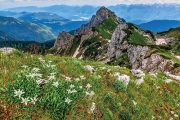 Protěž alpská patří k Rakousku a jeho horám odedávna.