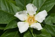 Květ mišpule nezapře čeleď růžovitých rostlin.