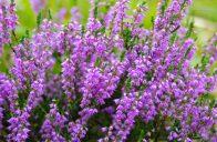 Vřesoviště bývá nejkrásnější na jaře a na podzim.