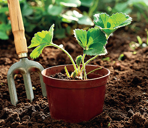 Frigo sazenice se odebírají z pole na podzim, kdy jsou rostliny už ve stadium vegetačního klidu a v tomto stavu se udržují až do výsadby.