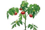Podpořte svá rajčata