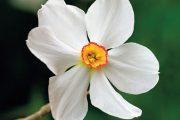 Přivoňte si například k narcisu bílému (Narcissus poeticus) pocházejícímu z Francie.
