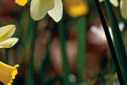 Spolu s tulipány tvoří narcisy téměř nerozlučné jarní duo.