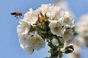 Většina rostlin a plodin musí být opylená včelami.