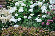 Stejné místo vyfocené v červenci 2013 – kvetou zde tři hortenzie stromečkovité s mohutnými bílými květy (Hydrangea arborescens 'Strong Anabelle') a jedna s květy růžovými (H. arborescens 'Pink Annabelle').