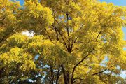 Odrůda s výrazně žlutými listy – Robinia pseudoacacia 'Frisia'.