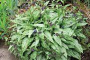 Plicníky (Pulmonaria) jsou relativně běžné byliny, které rostou roztroušeně po celé naší republice.