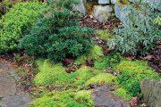 Při transplantaci mechu na zahradu povrch záhonu nejdříve nakypřete a prosypte malým množstvím rašeliny a písku.