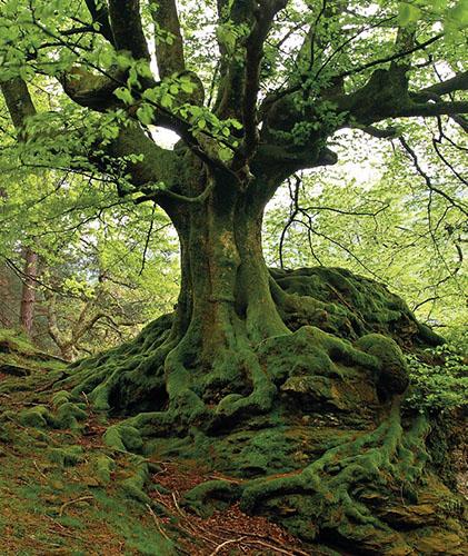 Buk lesní (Fagus sylvatica) je v evropských lesích zastoupen opravdu hojně, patří k nejčastěji vysazovaným listnatým stromům.