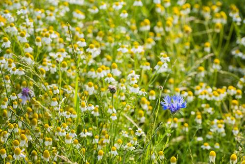 Pokud se nechcete vydat na sběr vonných kvítků do přírody, zkuste vlastní výsev na zahradě.