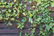 Oplocení z vodorovně orientovaných latí s popínavkami působí přívětivěji než neprůhledné vysoké stěny.
