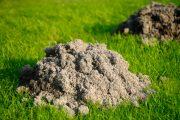 Krtince patří mezi postrach všech okrasných trávníků.