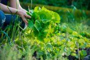 Zdravou sklizeň získáte i bez použití zahradní chemie.
