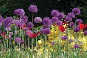 Kontrastní barvy rostlin rozehrávají zajímavá představení. Díky tmavému pozadí tisového plotu česneková soukvětí prozářená sluncem krásně vyniknou.