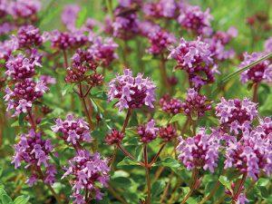 Mateřídouška patří mezi hluchavkovité, což bývají většinou medonosné či aromatické rostliny.