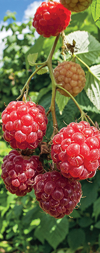 Drobné ovoce do ekologické zahrady určitě patří.