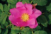 Růže svraskalá je půvabná i užitečná. Její šípky lze využít v kuchyni.