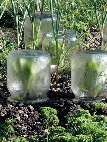 Teplo rostlinám obstarají obyčejné sklenice.
