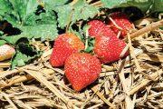 Jahody vypěstované ve slaměném mulči nejsou sice špinavé, na jaře se pod mulčem ale pomaleji prohřívá půda, což může zpozdit úrodu a snížit výnosy.