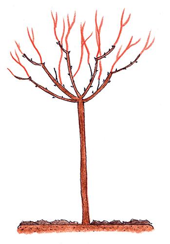 Stromková růže