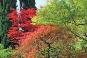 Výrazně zbarvené japonské javory vedle majestátních cypřišů