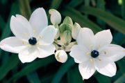 Snědek kytkovitý (O. thyrsoides) můžete pěstovat i k řezu.