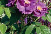 Keřová růže 'Rhapsody in Blue' patří k největším úspěchům ve šlechtění tzv. modrých růží. Na vzpřímených výhonech bohatě kvete až do zámrazu.