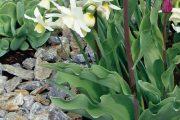 Na jaře rozkvetou různé druhy cibulovin. Vedle tulipánů 'Negrita' vyniknou čistě bílé narcisy 'Thalia'.