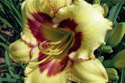 Denivka 'El Desperado' má velké nápadné květy s tmavým purpurovým jícnem a lemováním.