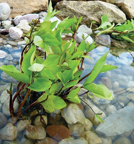 Výsadba bez substrátu předchází nadbytečnému uvolňování živin do vody.