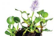 Plovoucí vodní hyacint (Eichhornia)