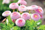 Dvouleté rostliny vykrývají mezeru mezi cibulovinami, které dokvétají v květnu, a trvalkami, které jsou v plném květu nejčastěji od prázdnin.