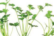 Celer patří mezi kořenovou zeleninu.